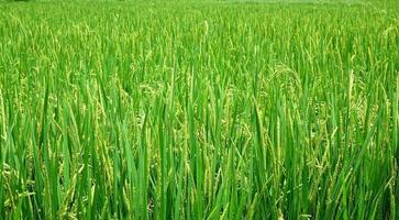 campo di riso lussureggiante e verde foto