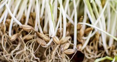 germinazione di semi d'orzo foto
