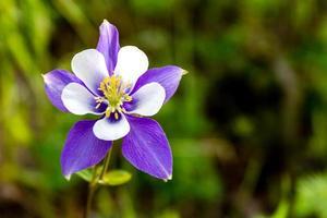 fioritura blu fiori di aquilegia alpina foto