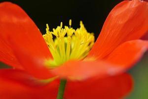 arte digitale, effetto vernice, macro di fiori di papavero di mais foto