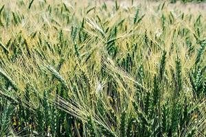 sfondo con spighe di grano foto