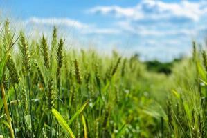 campo di grano contro un cielo blu foto