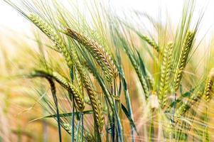 campo di coltura verde e oro foto