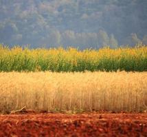 bellissimo campo di grano dorato, fiore giallo, sfondo di montagna