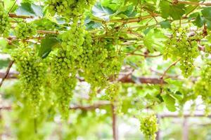 albero d'uva in giardino foto