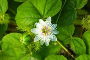 passiflora fetida foto