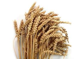 spighe di grano foto