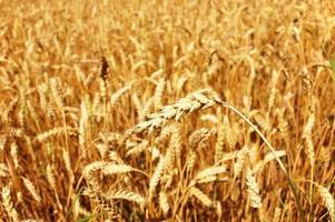 primo piano del grano dorato foto