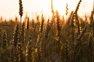 sfondo di maturazione spighe di campo di grano giallo