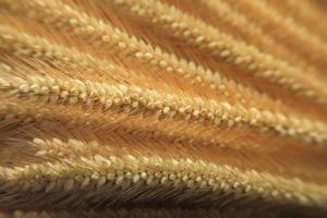 primo piano sul riso d'orzo foto