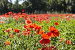 campi di papaveri rossi foto