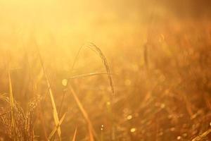 campo di riso al mattino foto