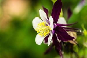 aquilegia alpina viola foto
