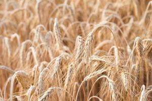 spighe dorate di grano sul campo foto