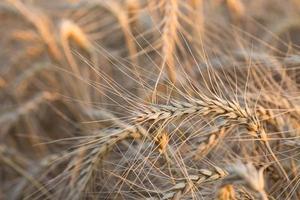 primo piano di un campo di grano