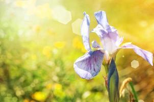 primo piano del fiore dell'iride foto