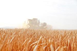Close up di spighe di grano maturo foto