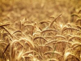 campo di grano - tempo di raccolta foto
