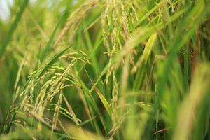 pianta di riso foto