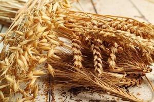piante di cereali. grano, segale, avena (avena).