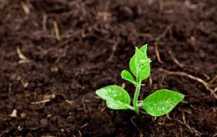 giovane pianta che cresce dal terreno foto
