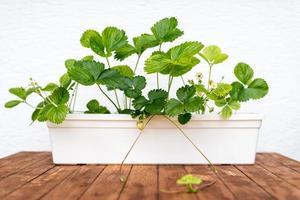 pianta di fragola che cresce in un vaso di fiori foto