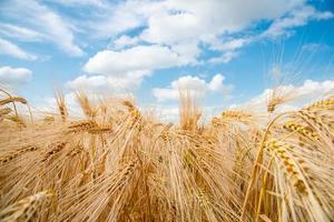 piante di cereali, orzo, con focus diverso