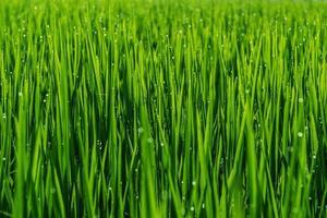 pianta in campo di riso con goccia di rugiada. foto