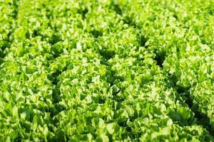 piante di indivia in campo da vicino foto