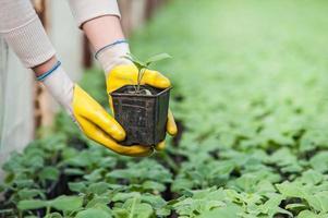 mano dell'operaio della serra che tiene il vaso della pianta