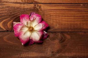 rosa appassita