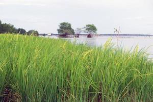 raccolto di riso in riva al lago foto