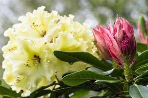 bocciolo di fiore di rododenro apertura foto