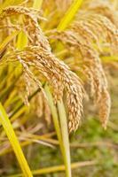 piante di riso foto