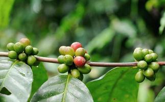 alberi di caffè. foto