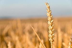 dettaglio del grano foto