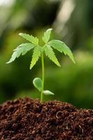 nuova vita - pianta di neem che cresce dal suolo foto