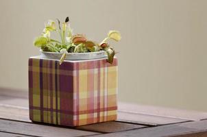 pianta di Venere acchiappamosche in vaso quadrato.