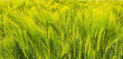 grano che cresce su un campo soleggiato in primavera