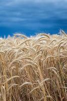 campo di grano d'oro prima della tempesta