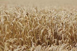 grano vicino sul campo dell'azienda agricola foto