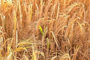 dettaglio del campo di grano prima del raccolto