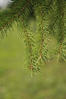 ramo di un albero di larice