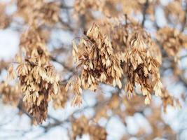semi di cenere sui rami in inverno