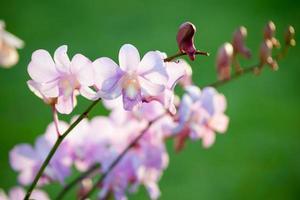 fiore di orchidea rosa dendrobium foto