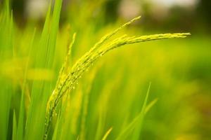 maturazione del grano in campo foto