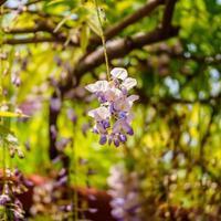 serie di fiori primaverili, glicine viola
