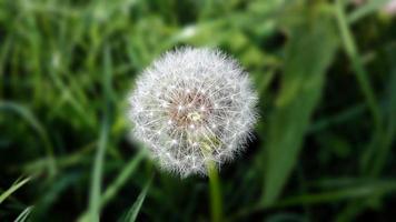 testa di fiore di tarassaco o tarassaco foto