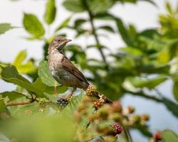 femmina whitethroat arroccato
