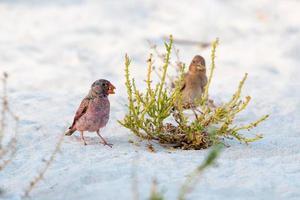 trombettista fringuello in piedi sulla sabbia